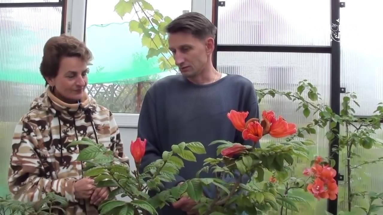 Тюльпановое дерево: особенности выращивания и уход