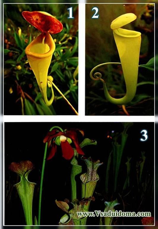 Насекомоядный микс уход в домашних условиях. уход за насекомоядными растениями (carnivorous)