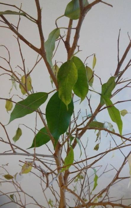 Гардения - болезни растения, их описание с фото и лечение