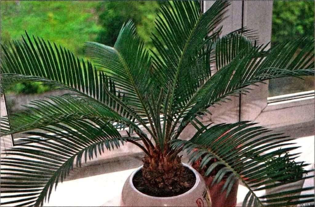 Саговник / цикас — уход в домашних условиях — выращивание саговой пальмы