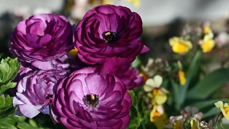 Цветы лютики: правила посадки и ухода в открытом грунте