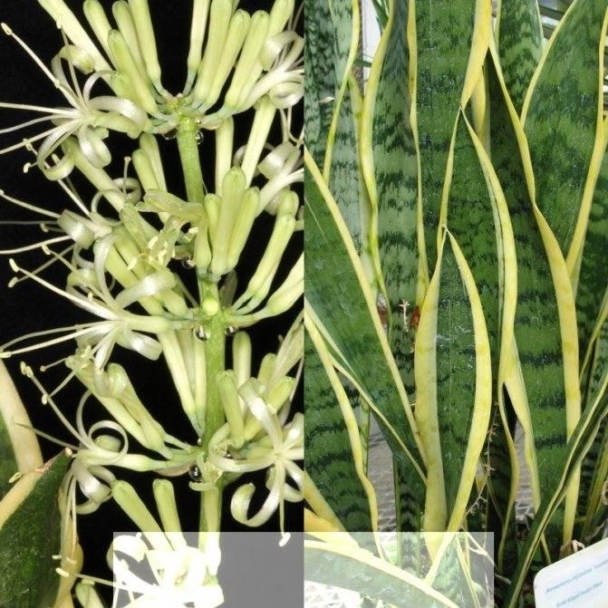 Комнатная сансевиерия, уход, виды и сорта с фото, размножение листом