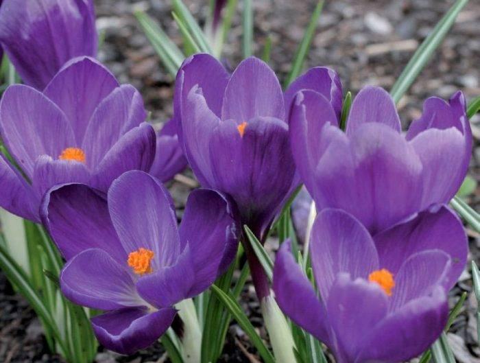 Осенние крокусы: виды и особенности выращивания