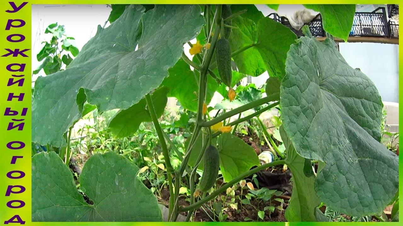 Выращивание огурцов в бутылках: посадка, уход и выращивание в пластиковой посуде. особенности ухода и советы огородников (105 фото)