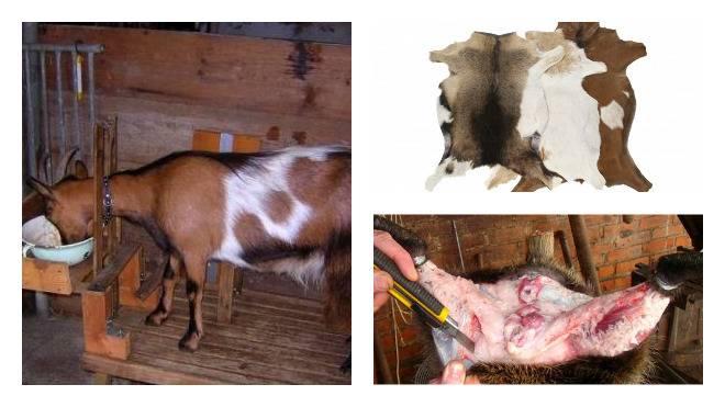 Выделка шкур овец в домашних условиях, пошаговая инструкция обработки