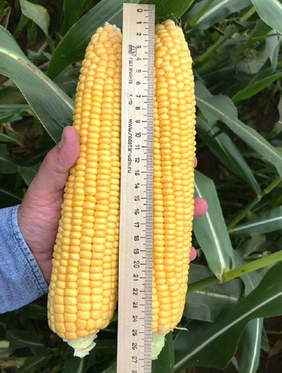 Кукуруза: выращивание из семян, посадка в открытый грунт и уход