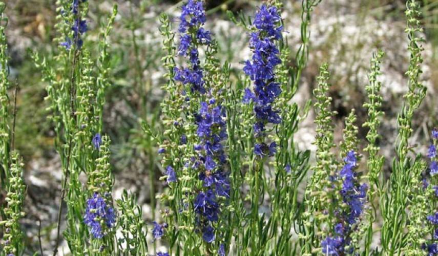 Зверобой: свойства и противопоказания, выращивание