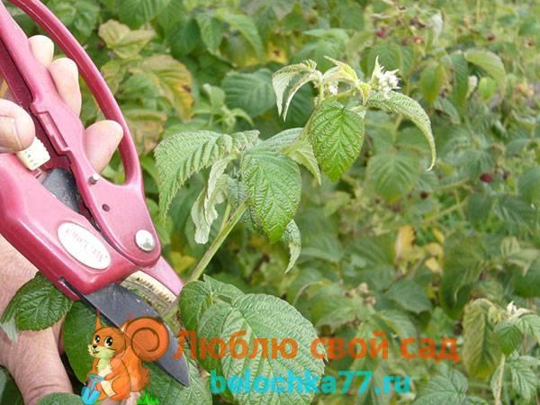 Подготовка малины к зиме осенью — 6 важных шагов, как готовить малину к зиме.