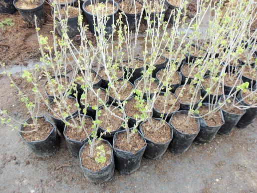 Как размножить смородину в кратчайшие сроки