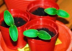 Как посадить огурцы на рассаду правильно