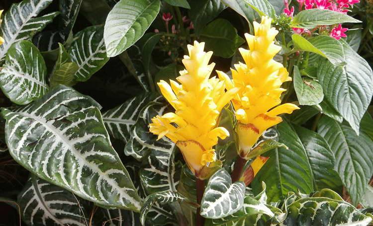 Афеландра. цветы, уход, размножение афеландры в домашних условиях