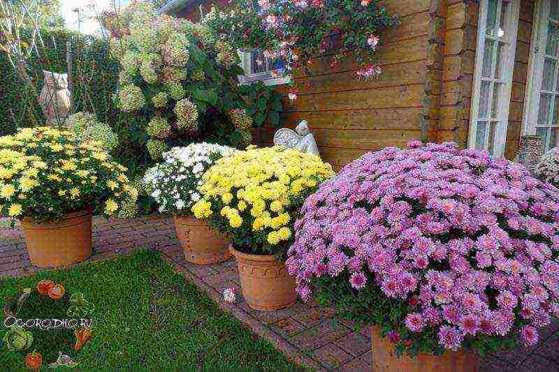 Уход за хризантемой в домашних условиях, фото, выращивание в горшке, сорта