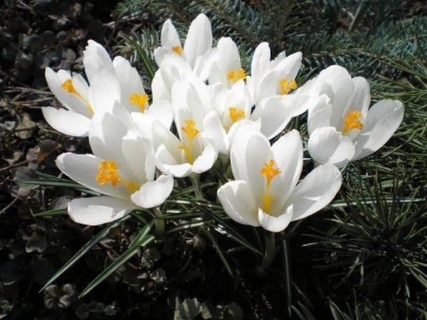Весна на подоконнике или выгонка крокусов в домашних условиях