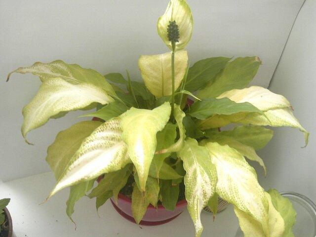 У спатифиллума желтеют листья: причины болезни, правильный уход, фото