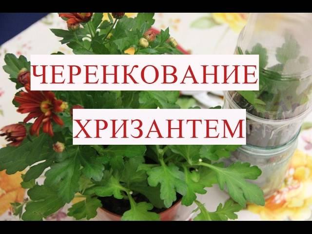 15 правил черенкования хризантем
