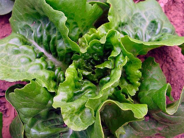 Как сеять салат