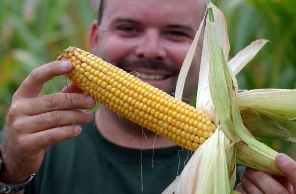 Время сбора урожая кукурузы по регионам россии
