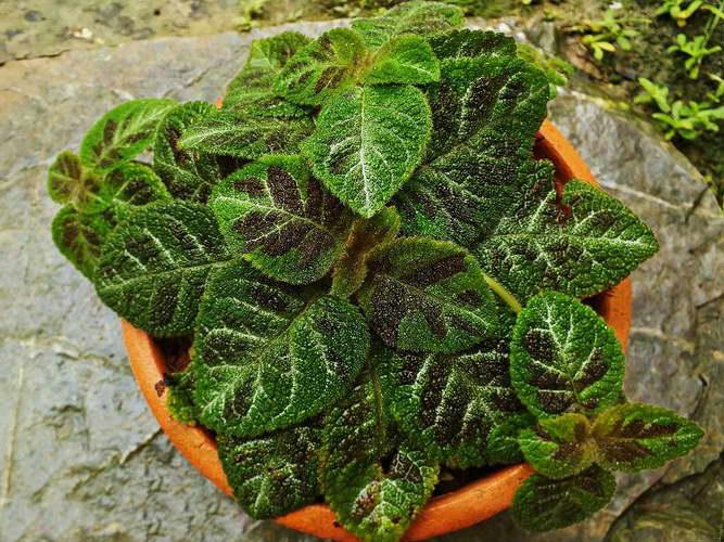 Эписция — уход в домашних условиях, размножение листом и черенками