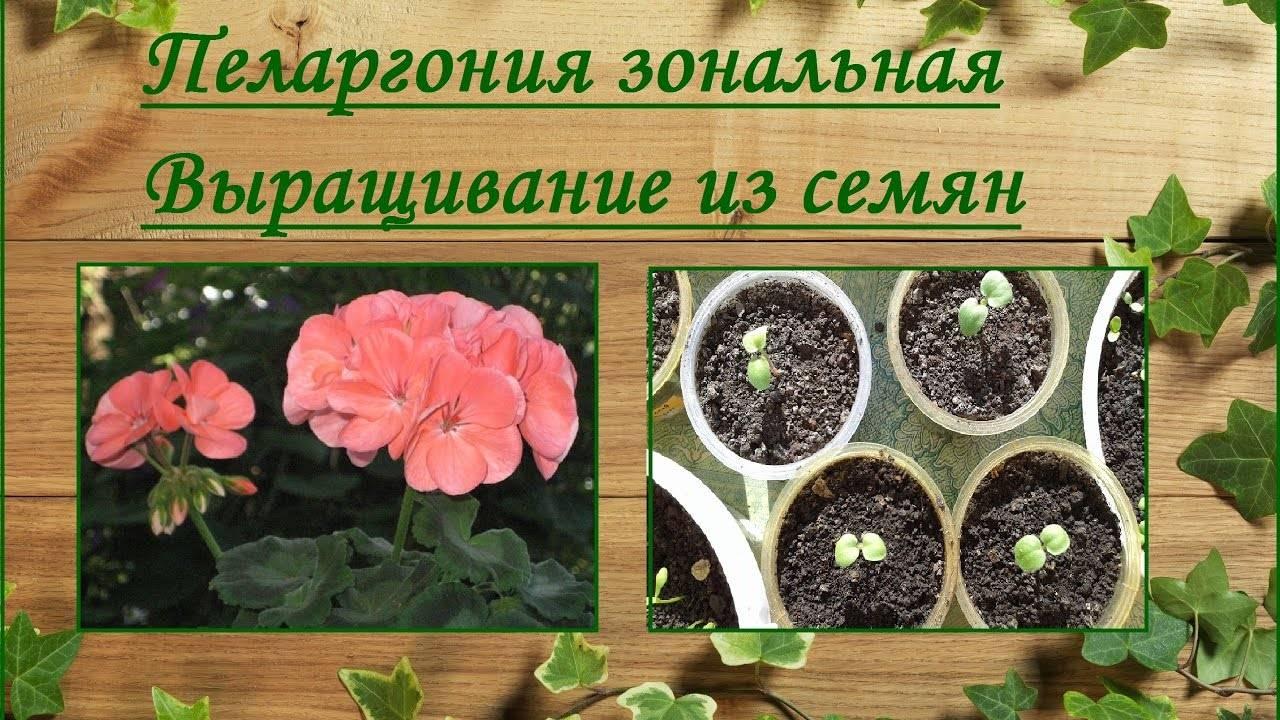 Размножение герани семенами в домашних условиях