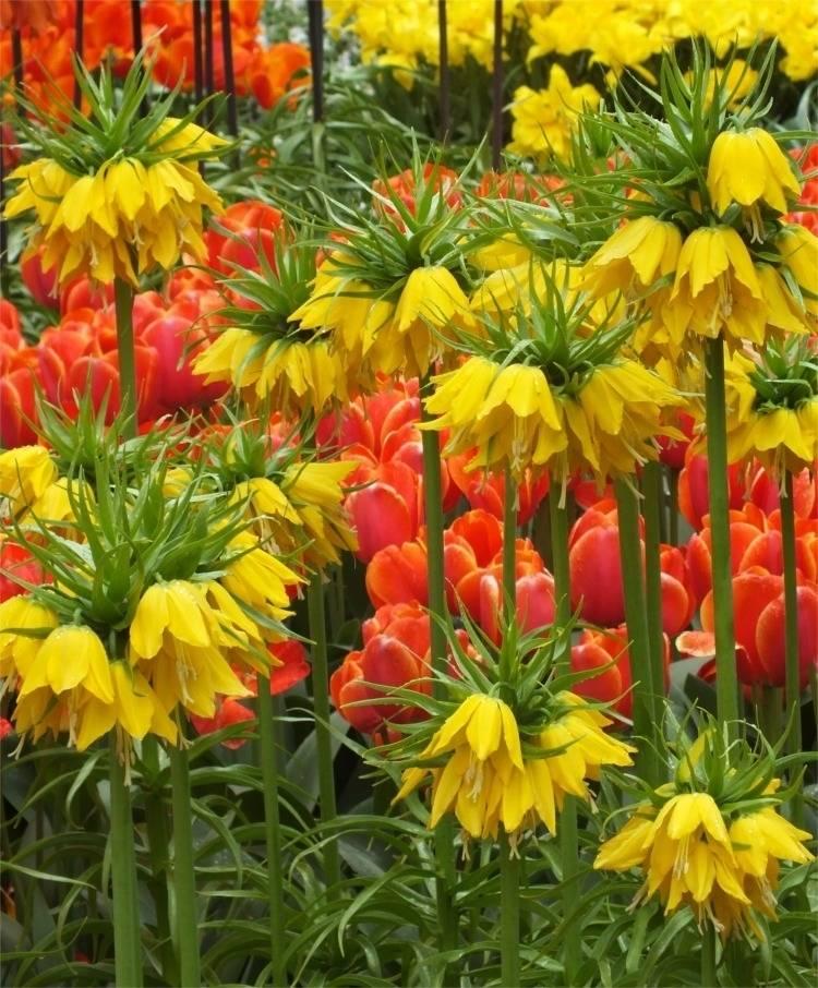 Цветы Рябчики - посадка и уход в открытом грунте Подмосковья