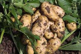 Удобрение для картофеля при посадке: основные подкормки и схемы их внесения