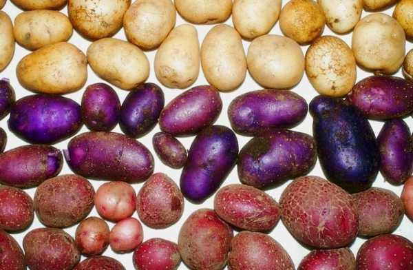 Фиолетовые сорта картофеля: названия, выращивание, готовка