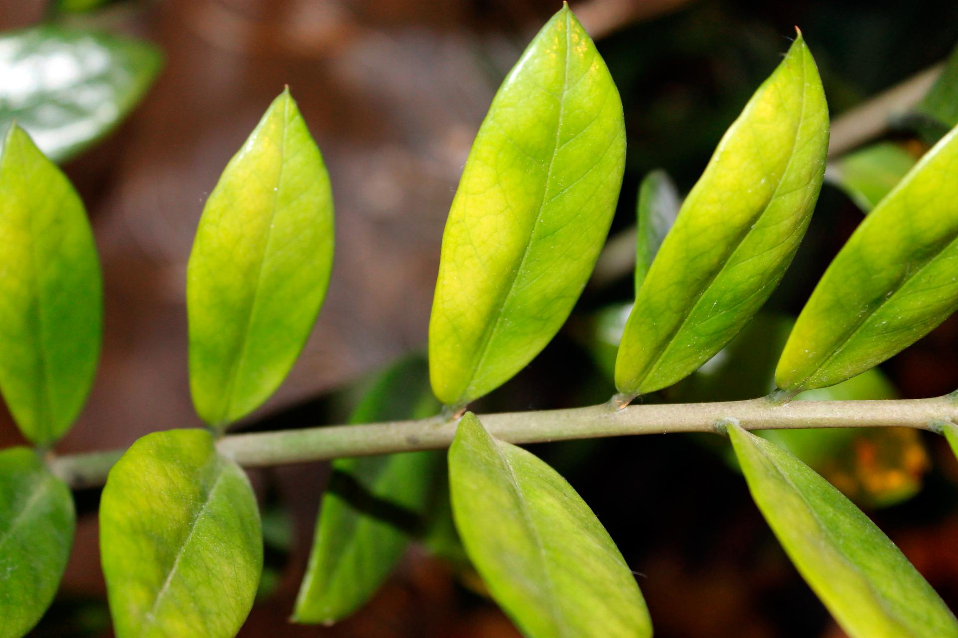 У каланхоэ желтеют, сохнут, опадают листья: почему это происходит и что делать