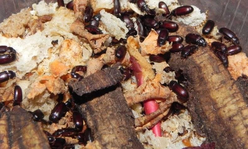 Жуки знахарь лечебные свойства и противопоказания