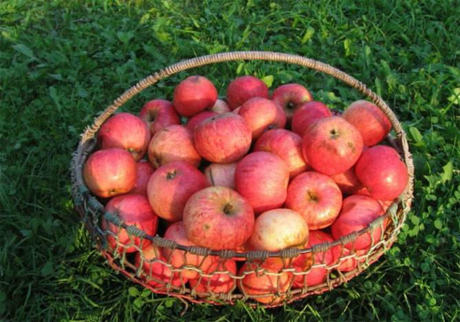 Яблоня штрифель — вновь на волне успеха