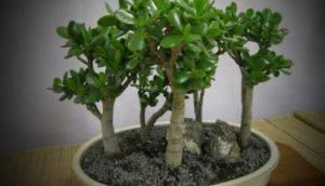Как спасти денежное дерево, которое сохнет и погибает