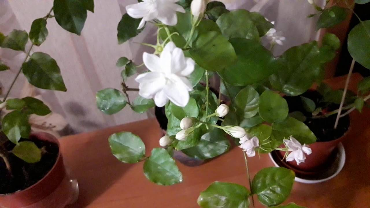 Домашний жасмин: виды и сорта, советы по уходу