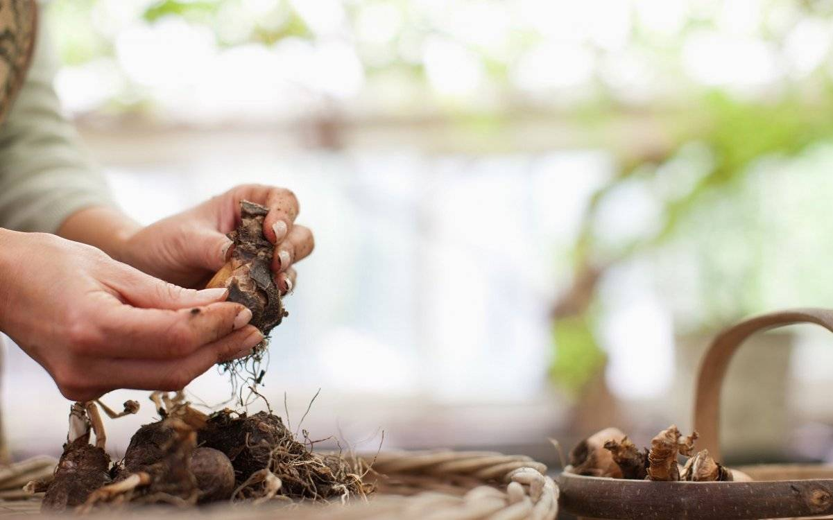 Когда выкапывать и как сохранить луковицы тюльпанов, гиацинтов, нарциссов, крокусов