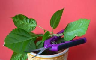 Кротон (кодиеум): уход за привередливым красавцем в домашних условиях