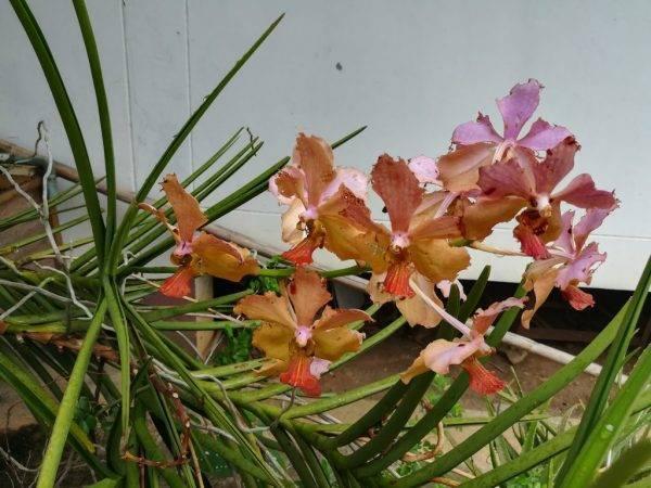 Основные причины, почему у орхидеи фаленопсис вянут листья и как это предотвратить