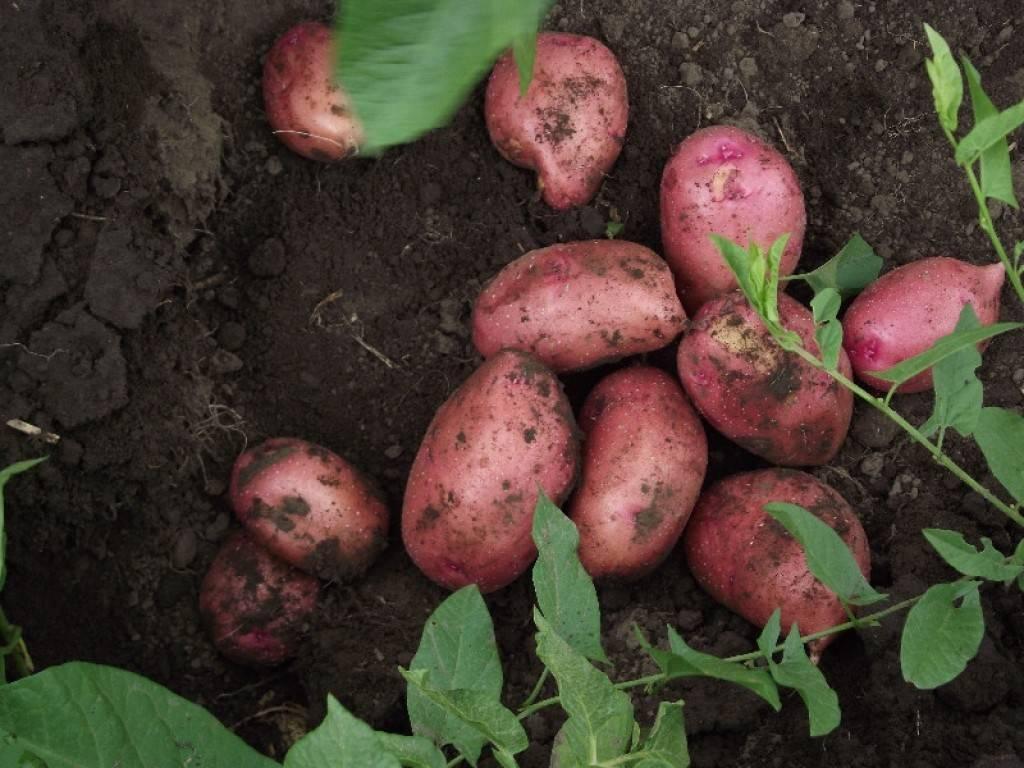 Лучшие сорта и виды картошки для выращивания
