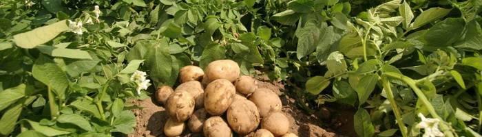 Когда копать молодую картошку на еду – признаки готовности