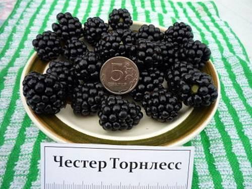 Топ-7 самых сладких сортов садовой ежевики