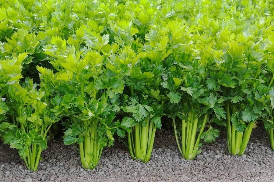 Правила выращивания корневого сельдерея в открытом грунте