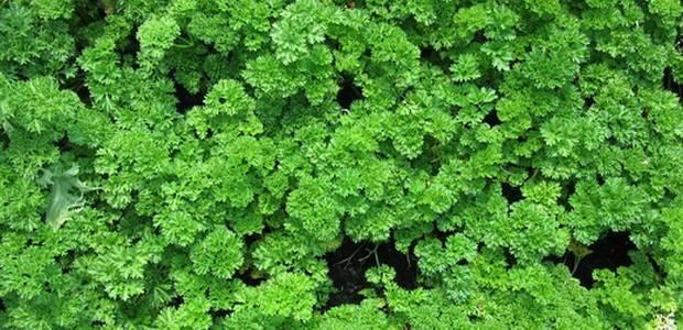 Петрушка — выращивание из семян и уход в открытом грунте. когда сажать петрушку в 2019 году на рассаду
