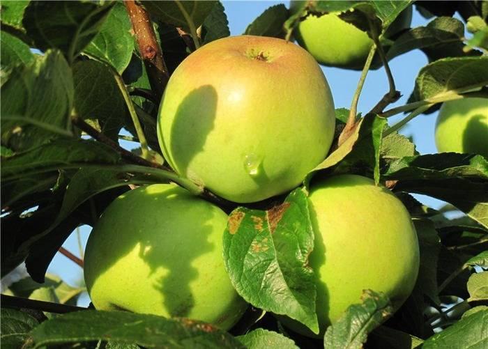 Яблоня медуница: посадка, уход, характеристики, отзывы и описание