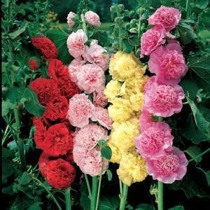 Шток-роза: выращивание из семян, когда сажать, особенности полива, советы опытных садоводов