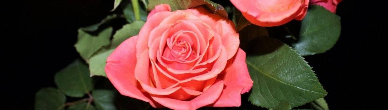 Черенкование розы из букета