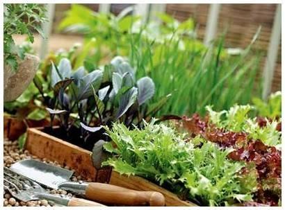 Брокколи: выращивание и уход в открытом грунте