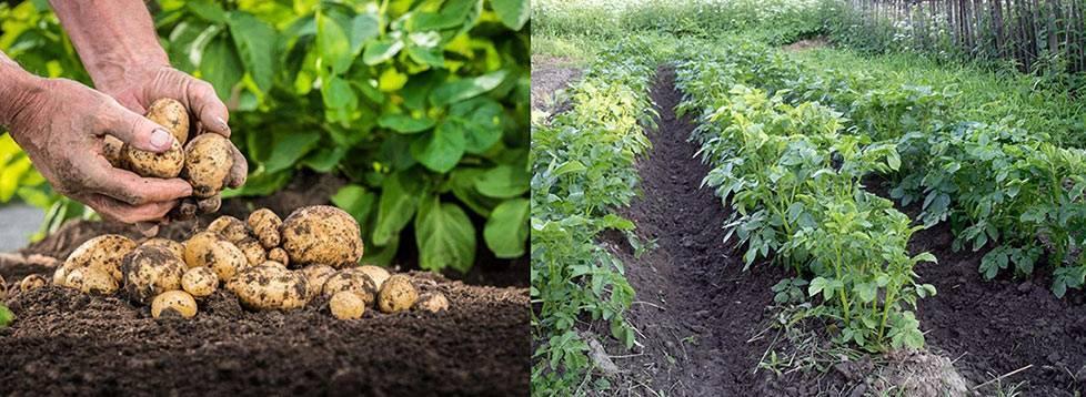 Все про удобрения для картофеля