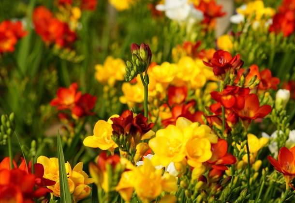 Фрезия – посадка и выращивание в домашних условиях и открытом грунте