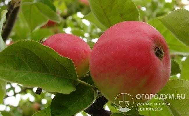 """Как посадить и вырастить яблоню сорта """"медуница"""" у себя на участке"""