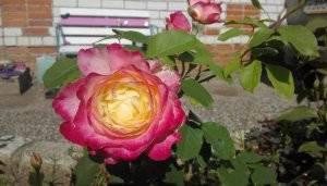 Роза дабл делайт: описание и особенности сорта, выращивание и уход