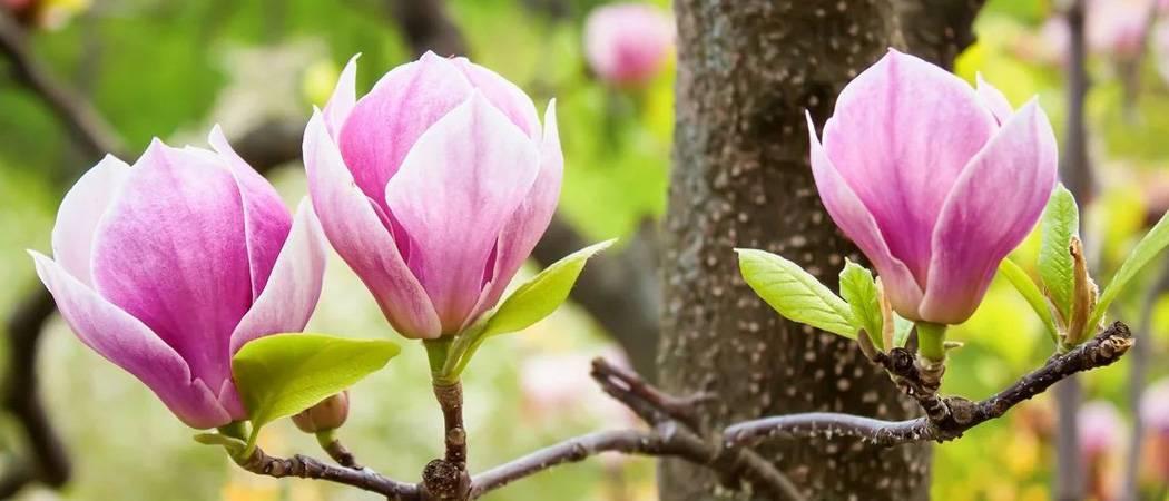 Чудесная магнолия – украшение сада. посадка и уход за магнолией