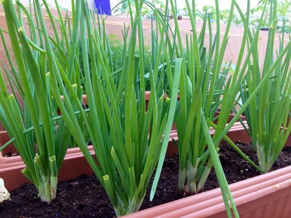 Чудный лук-батун: выращивание и уход на дачных грядках