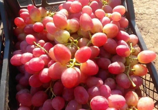 Описание и характеристика винограда сорта анюта, посадка и уход